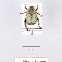 Espécime da colecção de insectos, do género Hoplia (Ordem: Coleoptera, Família: Scarabeidae), número de colecção MB07-009962.&lt;br /&gt;<br /> &lt;br /&gt;<br /> Specimen of the Insect Collection, of the genus Hoplia (Order: Coleoptera, Famíly: Scarabeidae), colection number MB07-009962.