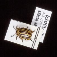 Espécime da colecção de insectos (Ordem:Coleoptera, Família:Chrysomelidae), número de colecção MB07-010051.&lt;br /&gt;<br /> &lt;br /&gt;<br /> Specimen of the Insect Collection (Order:Coleoptera, Famíly:Chrysomelidae), colection number MB07-010051.