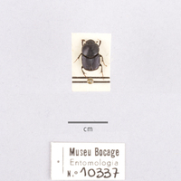 Espécime da colecção de insectos (Ordem: Coleoptera), número de colecção MB07-010337.<br /><br />