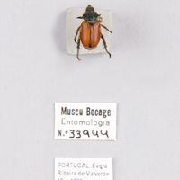 Espécime da colecção de insectos (Ordem: Coleoptera), número de colecção MB07-033944.<br /><br />