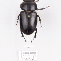 Espécime da colecção de insectos (Ordem: Coleoptera), número de colecção MB07-033946.<br /><br />
