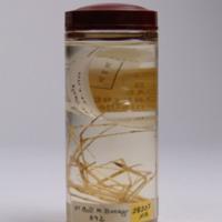 Espécime da espécie Stenorhynchus seticornis da colecção de crustáceos decápodes do MUHNAC