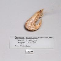 Espécime de camarão da espécie Penaeus duorarum da colecção de crustáceos decápodes do MUHNAC