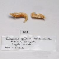 Espécime de camarão da espécie Sicyonia galeata da colecção de crustáceos decápodes do MUHNAC