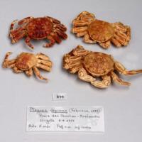 Espécime da espécie Plagusia depressa da colecção de crustáceos decápodes do MUHNAC