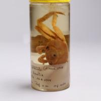 Espécime da espécie Grapsus grapsus da colecção de crustáceos decápodes do MUHNAC