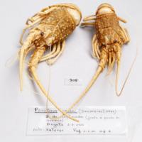 Espécime da espécie Panulirus regius da colecção de crustáceos decápodes do MUHNAC
