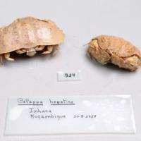 Espécime da espécie Calappa hepatica da colecção de crustáceos decápodes do MUHNAC