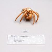 Espécime da espécie Dardanus megistos da colecção de crustáceos decápodes do MUHNAC