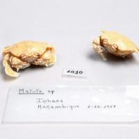 Espécime da espécie Matuta sp. da colecção de crustáceos decápodes do MUHNAC