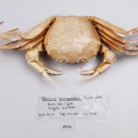 Espécime da espécie Chaceon quinquedens da colecção de crustáceos decápodes do MUHNAC