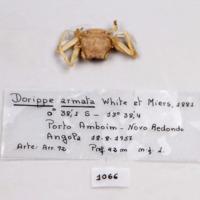 Espécime da espécie Phyllodorippe armata da colecção de crustáceos decápodes do MUHNAC