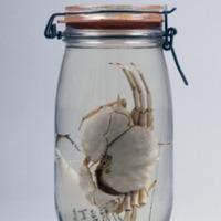 Espécime de Acanthocarpus brevispinis  da Colecção Crustacea decapoda do Museu Nacional de História Natural e da Ciência.