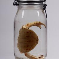 Espécime de Calappa granulata  da Colecção Crustacea decapoda do Museu Nacional de História Natural e da Ciência.