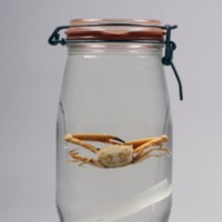 Espécime de Goneplax rhomboides  da Colecção Crustacea decapoda do Museu Nacional de História Natural e da Ciência.