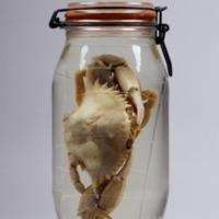 Espécime de Callinectes sapidus da Colecção crustacea decapoda do Museu Nacional de História Natural e da Ciência.