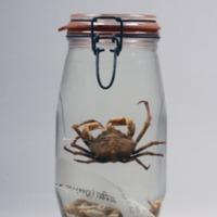 Espécime de Apiomithrax bocagei da Colecção crustacea decapoda do Museu Nacional de História Natural e da Ciência.
