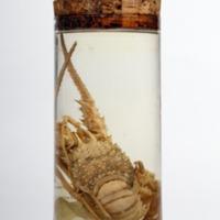 Espécime de Panulirus regius da Colecção crustacea decapoda do Museu Nacional de História Natural e da Ciência.