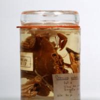 Espécime de Cronius ruber da Colecção crustacea decapoda do Museu Nacional de História Natural e da Ciência.