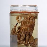 Vista ventral de um espécime de Cronius ruber da Colecção crustacea decapoda do Museu Nacional de História Natural e da Ciência.