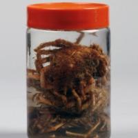 Espécime de Maja crispata da Colecção crustacea decapoda do Museu Nacional de História Natural e da Ciência.