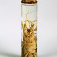 Espécime de Panulirus ornatus da Colecção crustacea decapoda do Museu Nacional de História Natural e da Ciência.