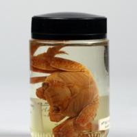 Espécime de Grapsus grapsus da Colecção crustacea decapoda do Museu Nacional de História Natural e da Ciência.