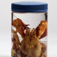 Espécime de Crustaceo Anomura da Colecção crustacea decapoda do Museu Nacional de História Natural e da Ciência.