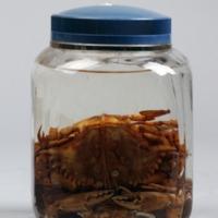 Espécime de Callinectes amnicola da Colecção crustacea decapoda do Museu Nacional de História Natural e da Ciência.