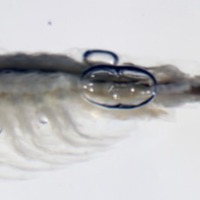 Holotipo de Tanymastigites lusitanica  .