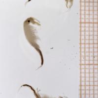 Paratipos de Tanymastigites lusitanica  .