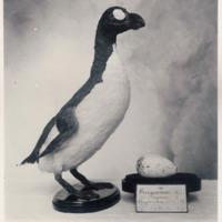 Fotografia de Pinguinus impennis  (Linnaeus, 1758) do Museu Nacional de História Natural e da Ciência, Lisboa, Portugal.