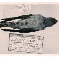 Fotografia de Petrochelidon rufigula  (Bocage, 1878) do Museu Nacional de História Natural e da Ciência, Lisboa, Portugal.