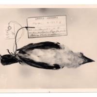Fotografia de Pogonorhynchus leucogaster  Bocage, 1877 do Museu Nacional de História Natural e da Ciência, Lisboa, Portugal.