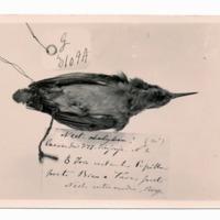 Fotografia de Nectarina [syn. Cinnyris] intermedia Bocage, 1978 do Museu Nacional de História Natural e da Ciência, Lisboa, Portugal.