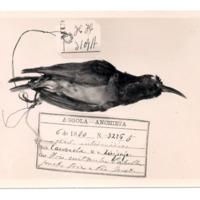 Fotografia de Nectarina [syn. Cinnyris] intermedia Bocage, 1878 do Museu Nacional de História Natural e da Ciência, Lisboa, Portugal.