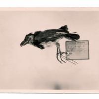 Fotografia de Barbatula bocagei [synonym Lybius torquatus bocagei] (Sousa, 1886) do Museu Nacional de História Natural e da Ciência, Lisboa, Portugal.