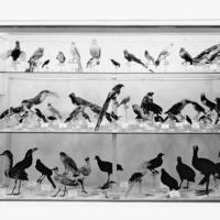 Fotografia de aves expostas na sala dedicada ao Museu Bocage (actual Departamento de Zoologia e Antropologia do Museu Nacional de História Natural e da Ciência) na  Exposição do Mundo Português (23 de Junho a 2 de Dezembro de 1940).
