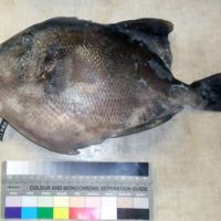 Espécime de Balistes capriscus Gmelin, 1789 da colecção de referência do projecto Biometore.