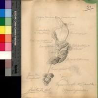 <em>Viquesnelia atlantica</em> (Morelet, 1860)