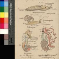 Organização dos Gastrópodes