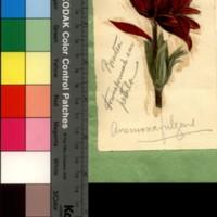 Anomalia da flor da <em>Anemona fugens</em>