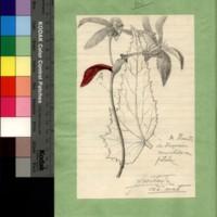 Anomalia da flor da begónia