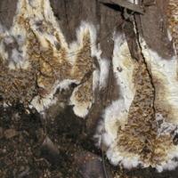 Exemplar de fungo da espécie Coniophora puteana