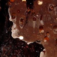 Exemplar de fungo da espécie Junghuhnia brownii