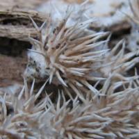 Exemplar de fungo da espécie Dendrocorticium polygonioides