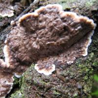 Exemplar de fungo da espécie Lopharia spadicea