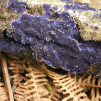 Exemplar de fungo da espécie Scytinostroma hemidichophyticum