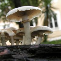 Exemplar de fungo da espécie Agrocybe aegerita
