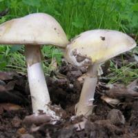 Exemplar de fungo da espécie Amanita phalloides